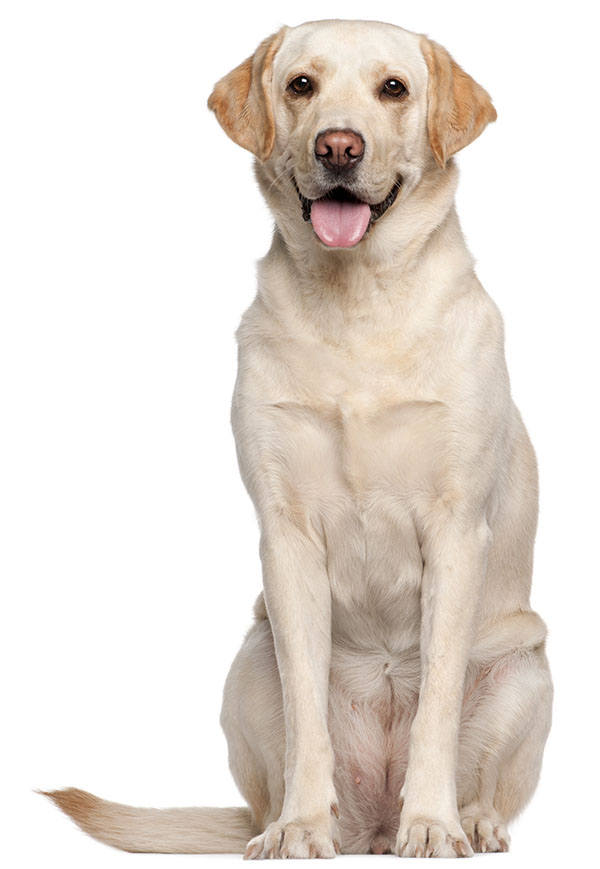 Dog HD PNG Transparent Dog HD.PNG Images..