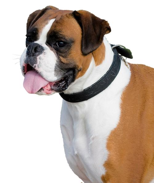 Boxer Dog PNG Transparent Image.