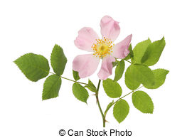 Stock Photos of Dog rose flower and leaves isolated against white.