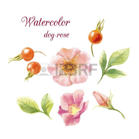 1,036 Dogrose Stock Vector Illustration And Royalty Free Dogrose.
