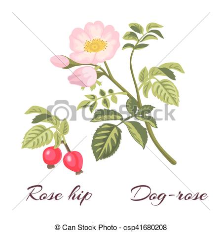 Vector Clipart of Dog rose flowers and rose hips..