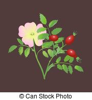 Dog rose Clipart and Stock Illustrations. 494 Dog rose vector EPS.