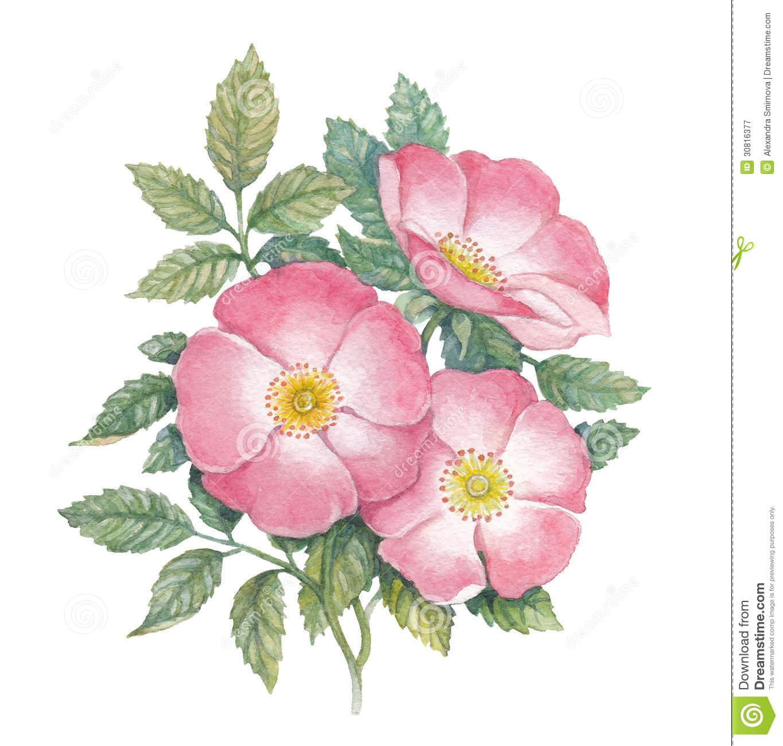 Dogrose Stock Illustrations.