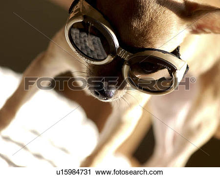Stock Photography of dog doggie chihuahua doggles glasses chili.