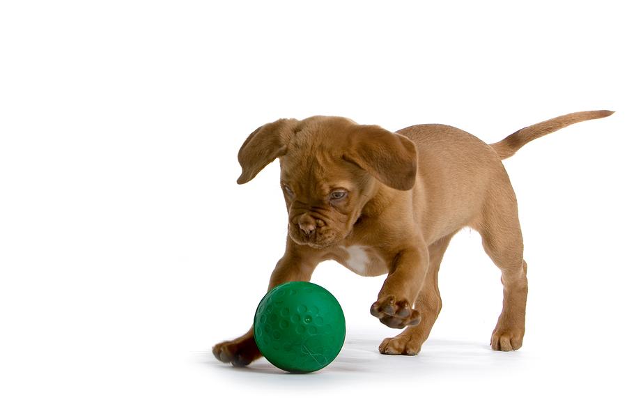 Dog Toys.