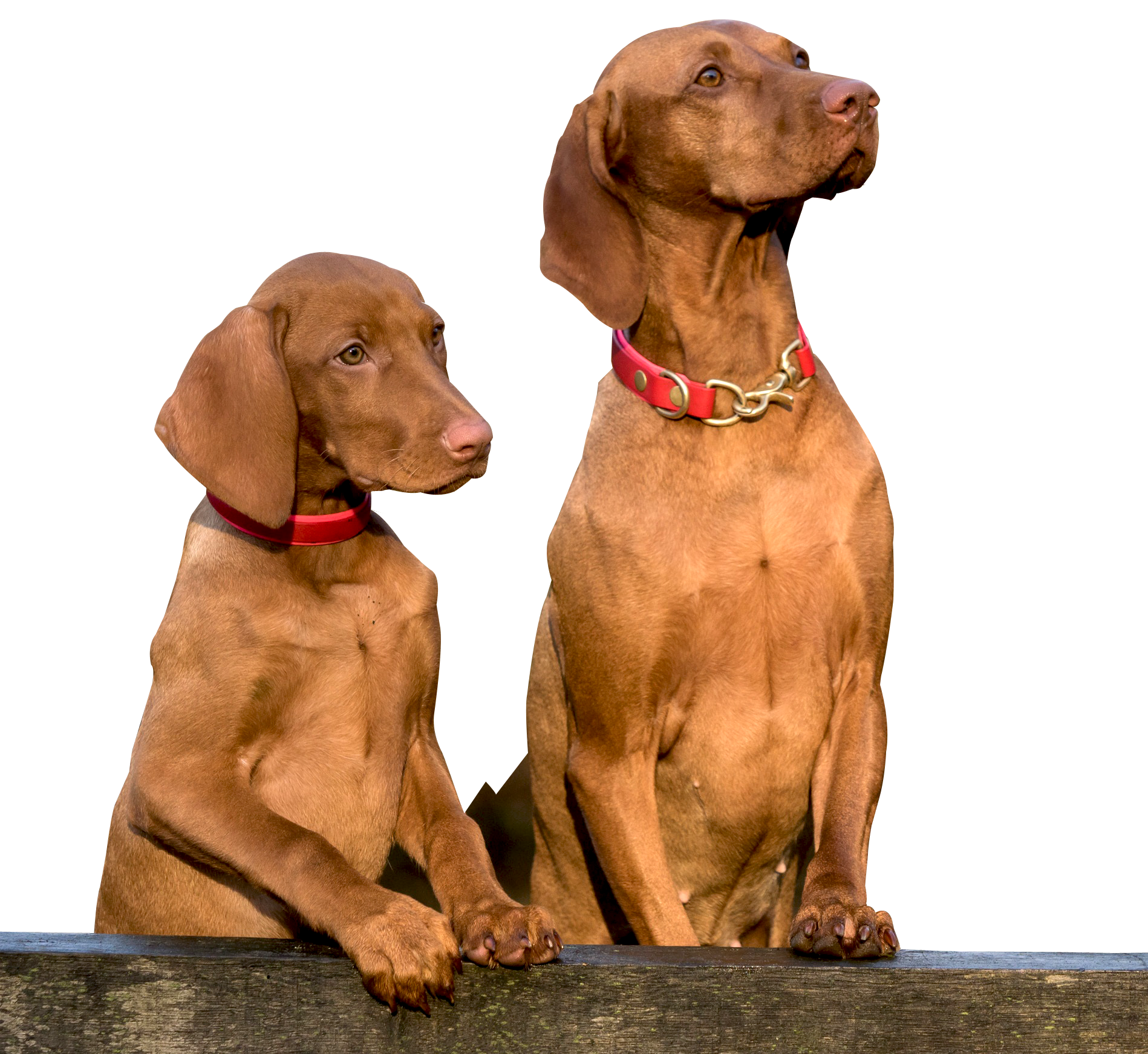 Two Dogs PNG Image.