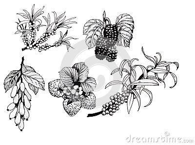 Blackberries, Strawberries And Dogwood And Sea Buck.