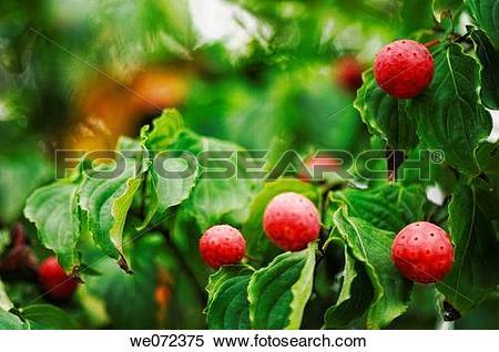 Stock Image of Ripe Berries on Giant Dogwood Tree. Cornus.