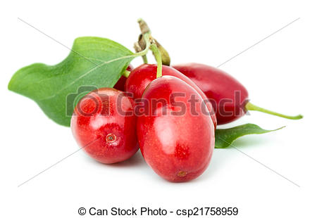 Stock Images of Dogwood berries.