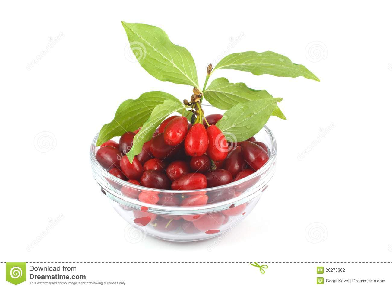 Dogwood Berries Stock Photography.