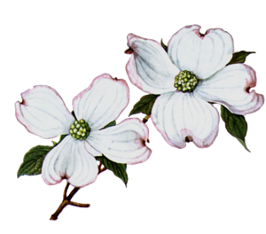 Dogwood Blossom Clipart.