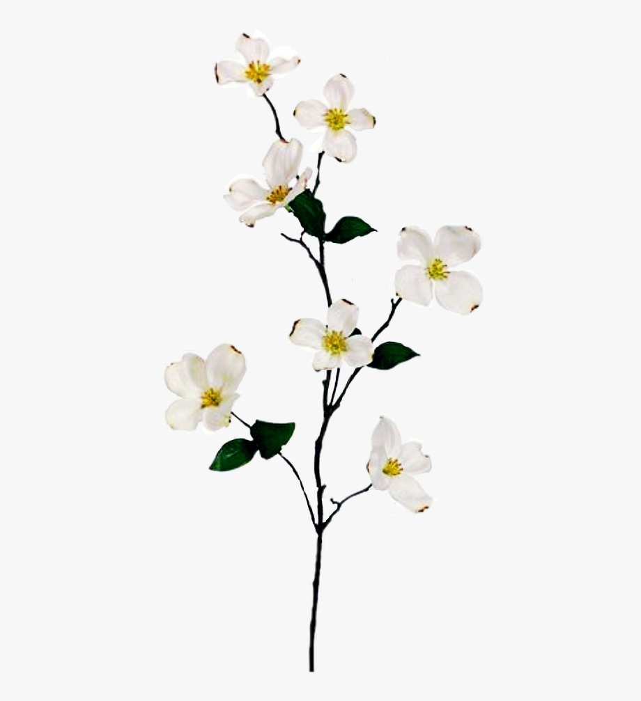 Dogwood Flower Branch , Transparent Cartoon, Free Cliparts.