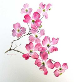 Mary Kelley: dogwood drawing.