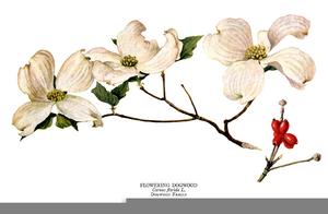 Free Dogwood Flower Clipart.