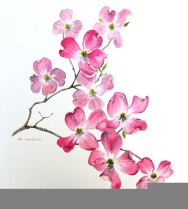 Dogwood Blossoms Clipart.