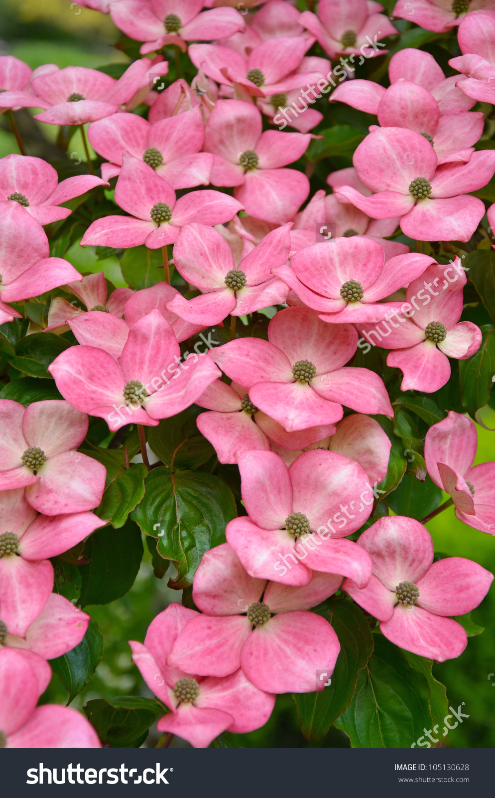 Pink Kousa Dogwood Flowers Full Bloom Stock Photo 105130628.