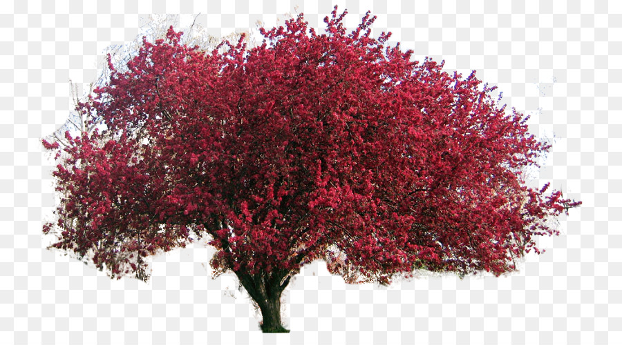 Red Maple Tree png download.