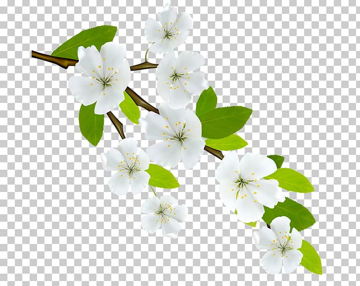 Branch Flowering Dogwood PNG, Clipart, Blossom, Branch, Cherry.