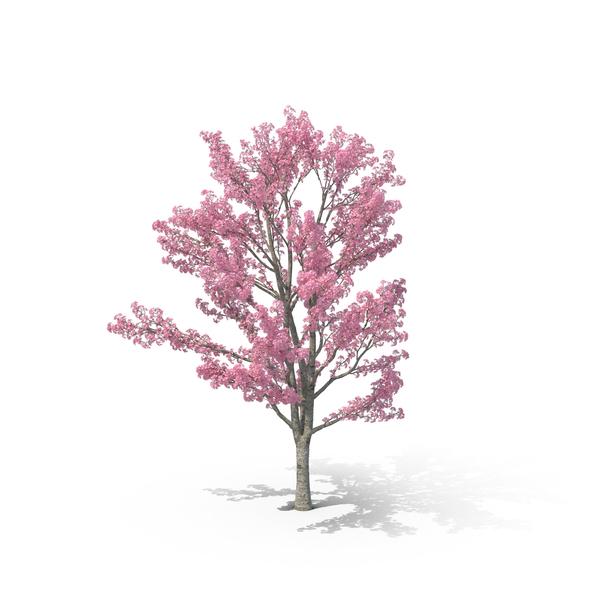 Pink Shower Tree PNG Images & PSDs for Download.