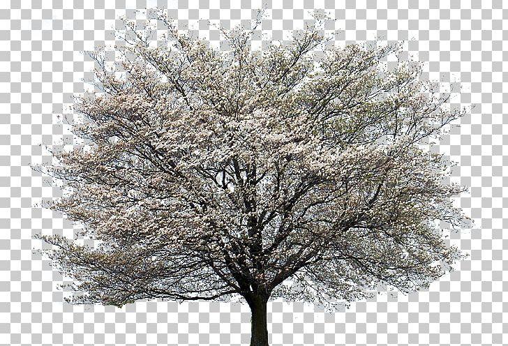 Flowering Dogwood Kousa Dogwood Tree Cornus Alternifolia PNG.