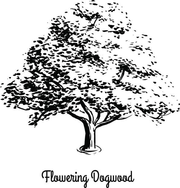 Best Dogwood Tree Illustrations, Royalty.