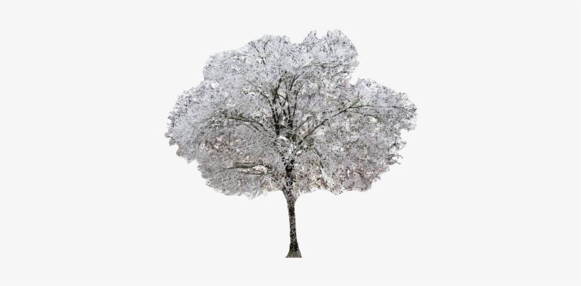 Winter Dogwood Tree.