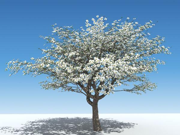 Dogwood Tree.