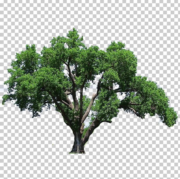 Southern Live Oak Tree Flowering Dogwood PNG, Clipart, Branch, Clip.