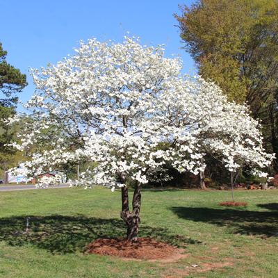 White Dogwood Tree.
