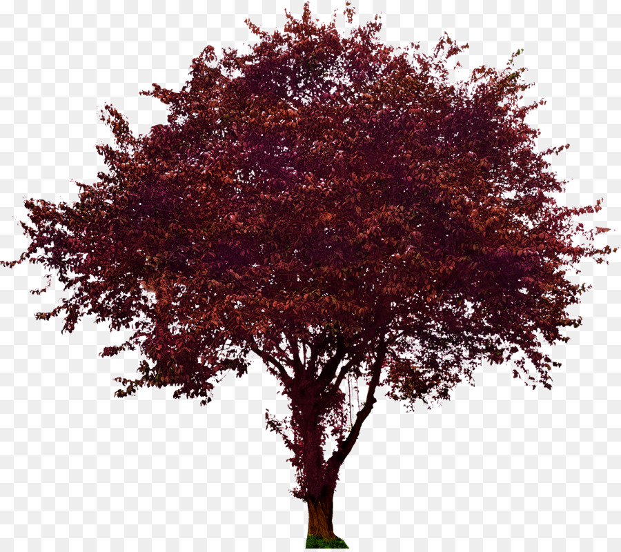 Dogwood Tree png download.