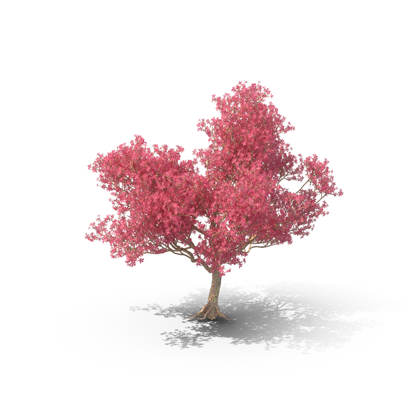 Silk Floss Tree PNG Images & PSDs for Download.