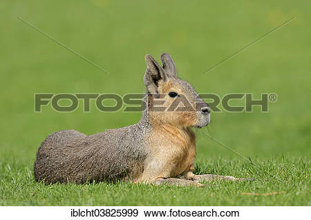 "Stock Photograph of ""Patagonian Mara or Patagonian Cavy."