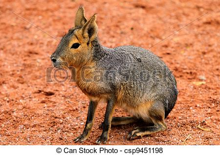 Pictures of Patagonian Hare (Dolichotis patagonum). These large.