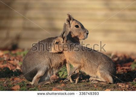 Patagonia Hare Stock Photos, Royalty.