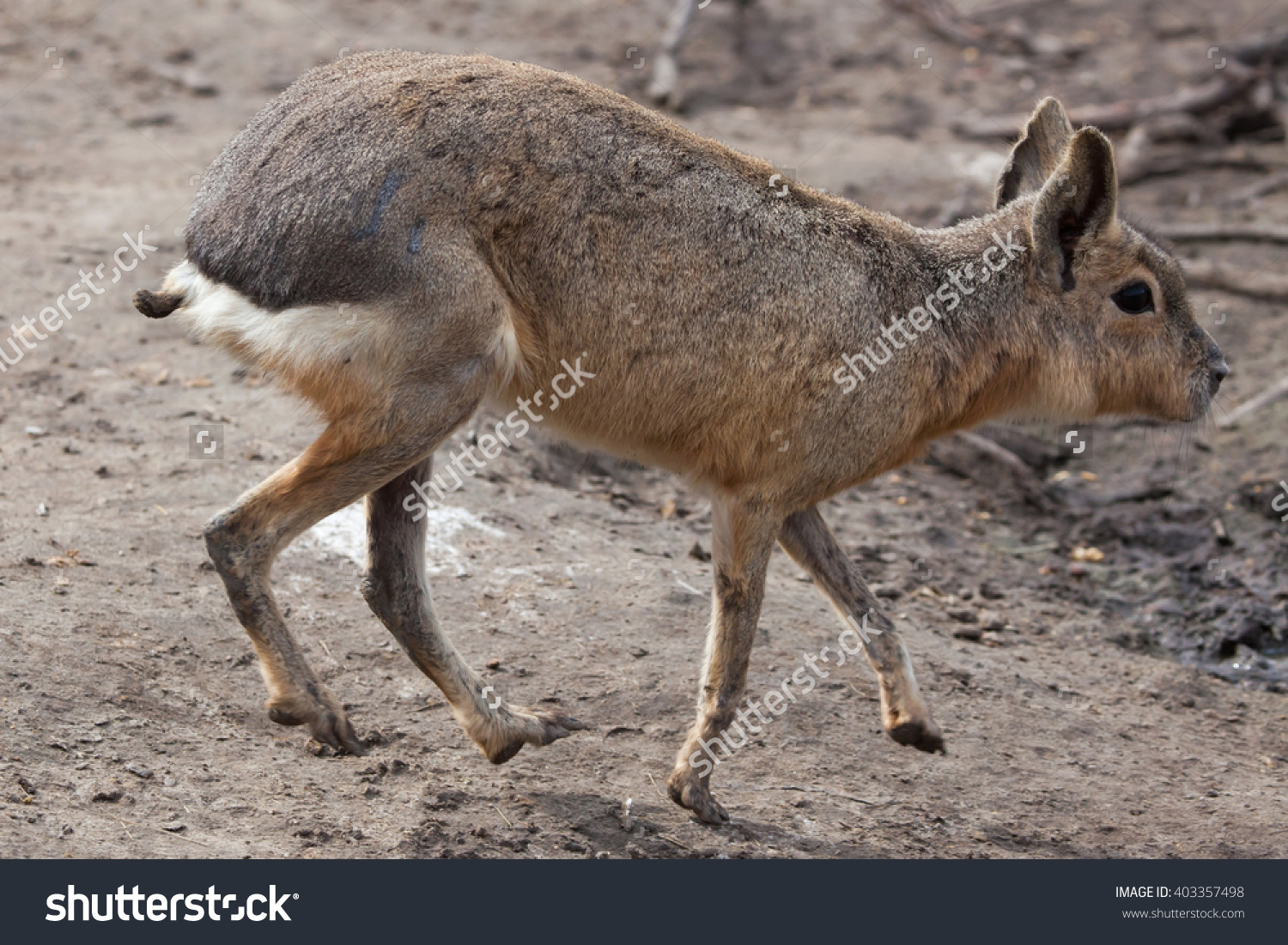 Patagonian Mara Dolichotis Patagonum Known Patagonian Stock Photo.