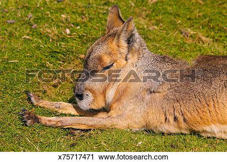 Stock Photography of Patagonian mara sunbathing. Dolichotis.