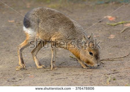 Patagonian Mara (Dolichotis Patagonum) Is A Large Somewhat Rabbit.