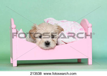 Pictures of Maltipoo (Maltese x Toy Poodle). Puppy lying in a pink.