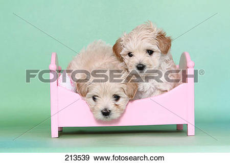 Stock Photograph of Maltipoo (Maltese x Toy Poodle). Two puppies.