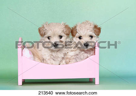 Stock Photography of Maltipoo (Maltese x Toy Poodle). Two puppies.