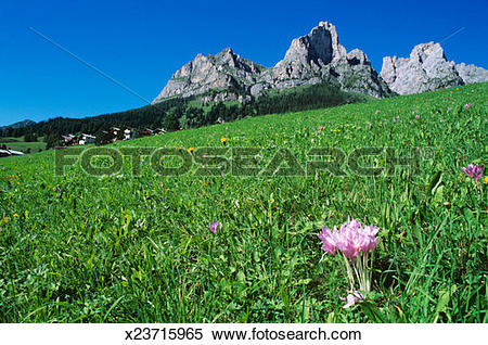 Stock Image of Italy, Dolomites, Cernera Mount, crocuses on meadow.
