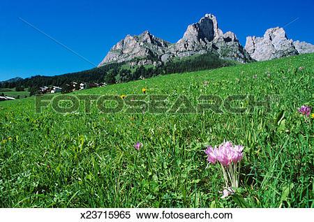 Stock Image of Italy, Dolomites, Cernera Mount, crocuses on meadow.