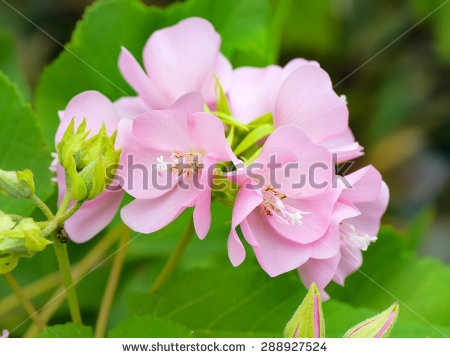 Dombeya Stock Photos, Royalty.