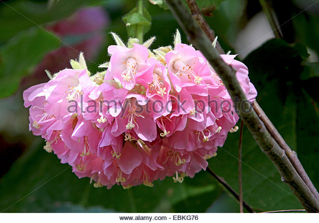 Dombeya Stock Photos & Dombeya Stock Images.