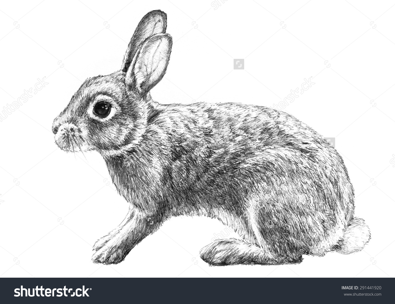 Cottontail Rabbit Illustration Hand Drawn Pencil Stock.