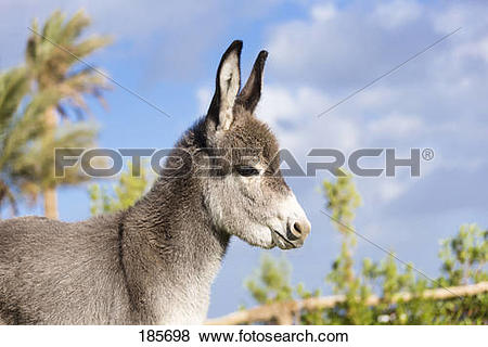 Pictures of Domestic Donkey (Equus asinus asinus). Portrait of.