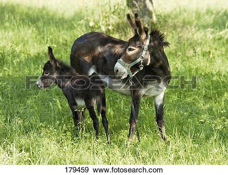 Stock Photograph of Domestic Donkey (Equus asinus asinus). Jenny.