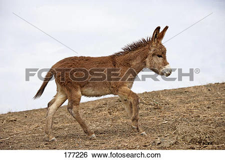 Stock Images of Domestic Donkey (Equus asinus asinus) galloping in.