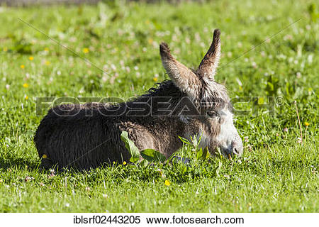"Stock Image of ""Domestic donkey (Equus asinus asinus), County."