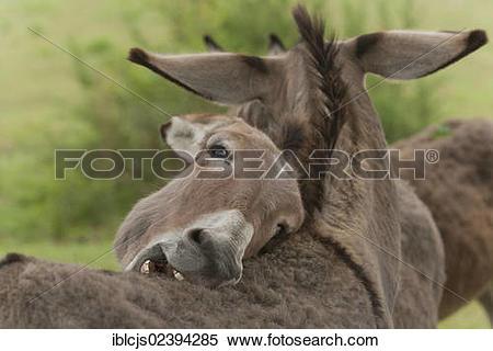 "Stock Image of ""Domestic Donkeys (Equus asinus asinus), mutual."